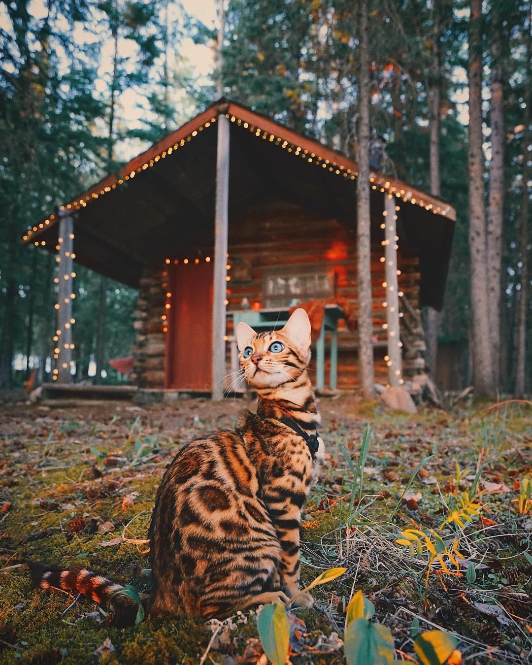 عکس گربه بنگال , گربه های زیبا و ملوس