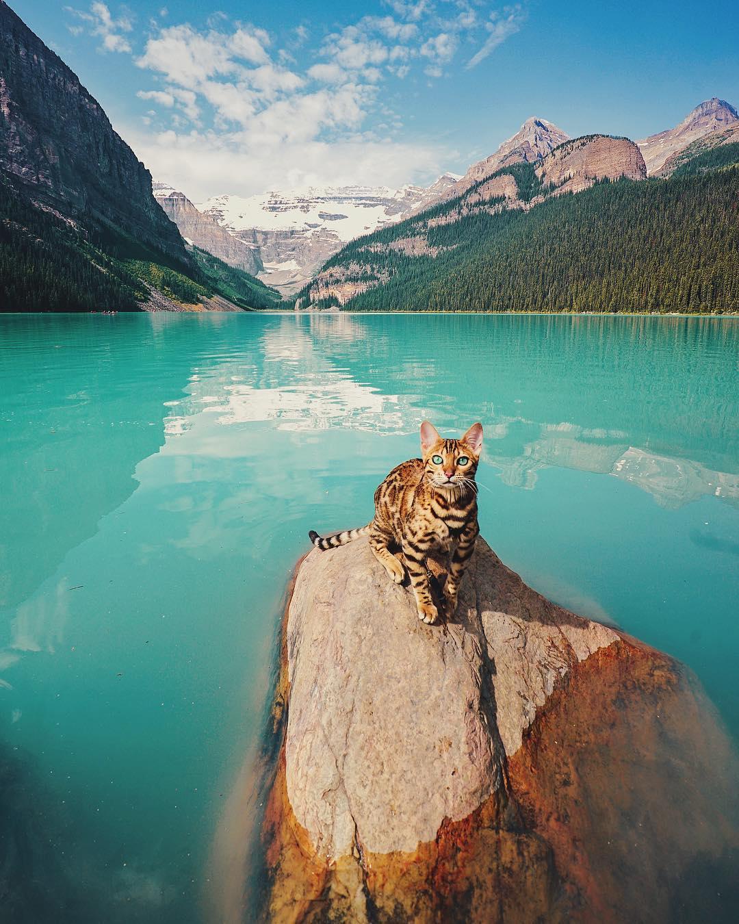 عکس گربه از نژاد بنگال