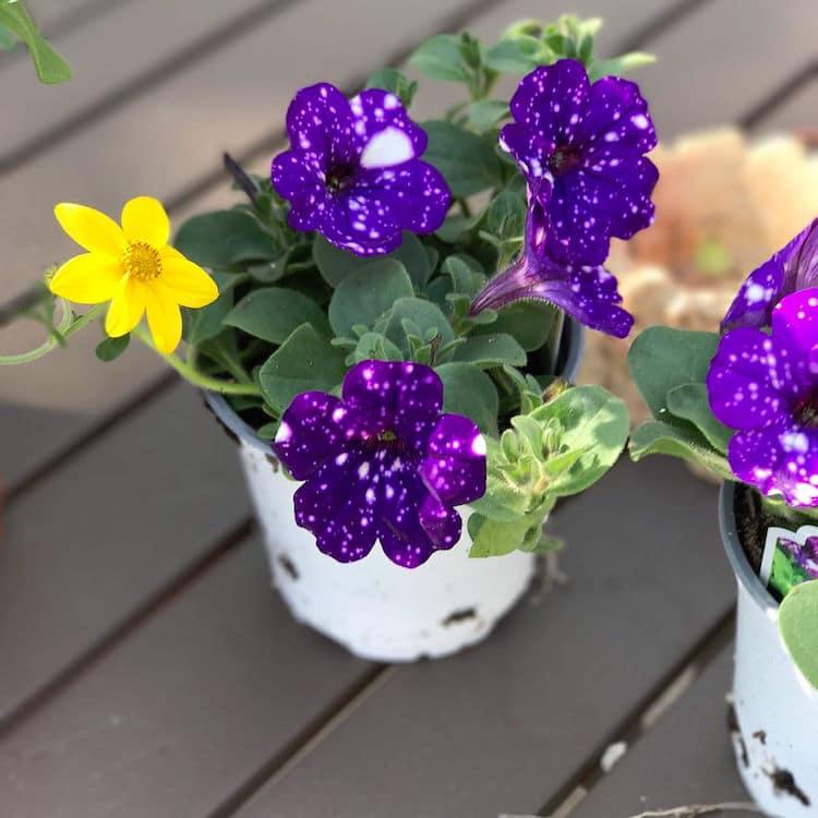 تصاویر گل اطلسی