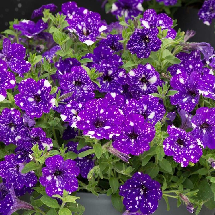 عکس گل اطلسی یا پتونیا