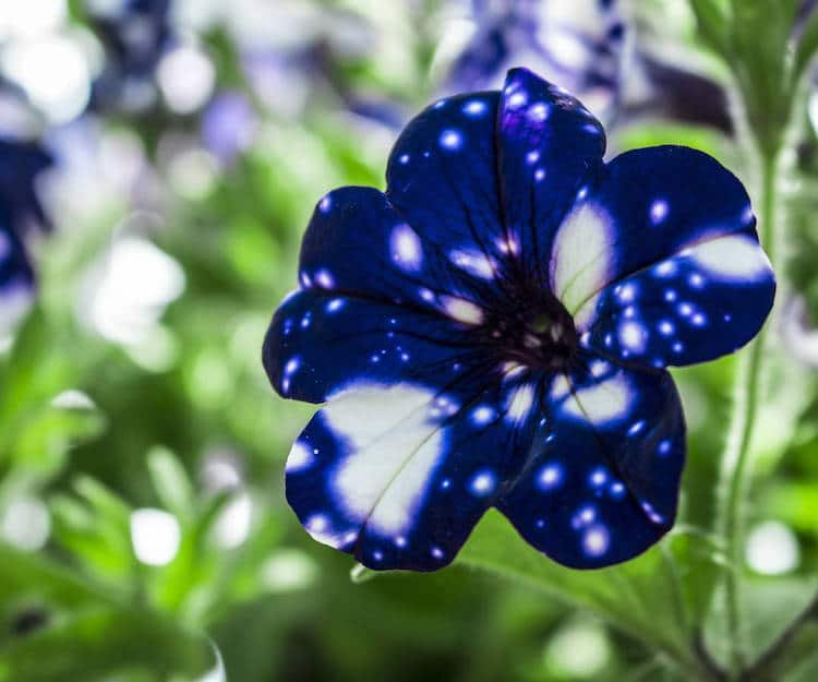 عکس گل اطلسی کهکشانی