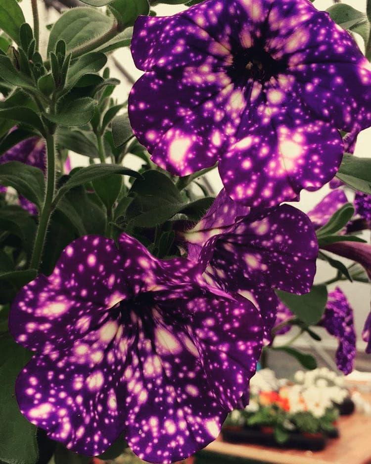 عکس گل اطلسی زیبا