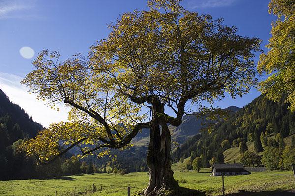 عکس درخت چنار