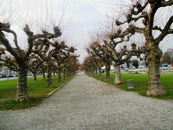 عکس درختان چنار زیبا