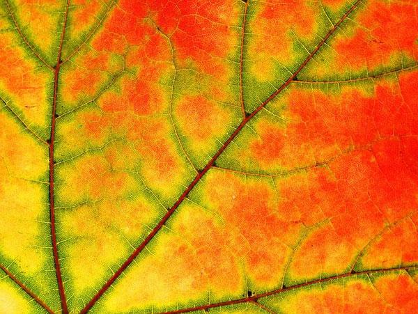 عکس برگ درخت چنار در پاییز