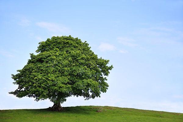 عکس درخت چنار قدیمی و سبز در بهار