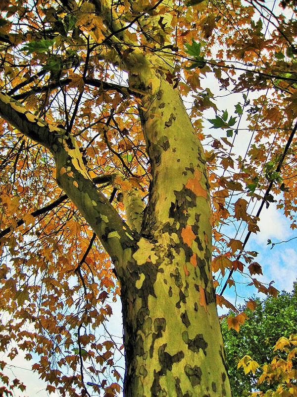 عکس درخت چنار زیبا در پاییز