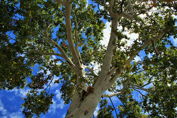 عکس درخت بزرگ چنار