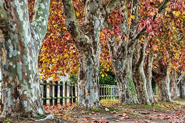 عکس درختان چنار در فصل پاییز