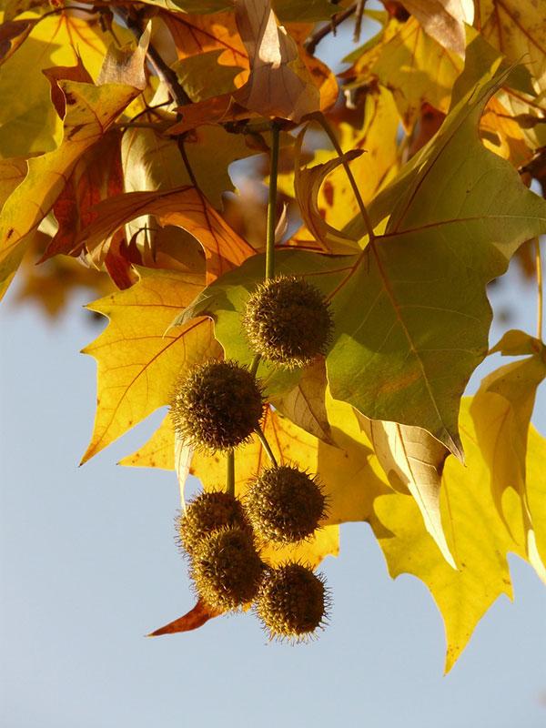 عکس برگ و بذر درخت چنار