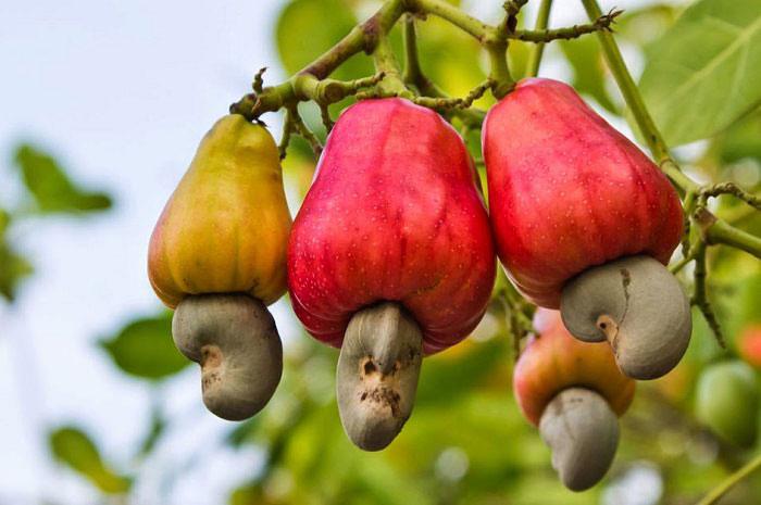 میوه بادام هندی