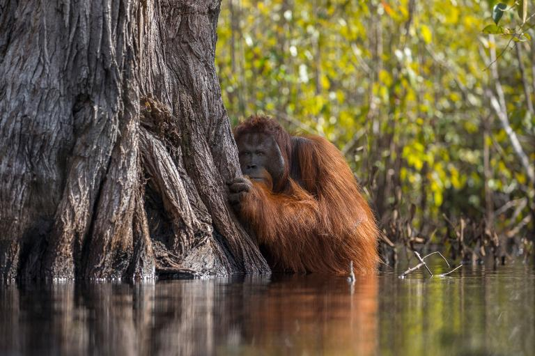 عکس اورانگوتان در طبیعت اندونزی