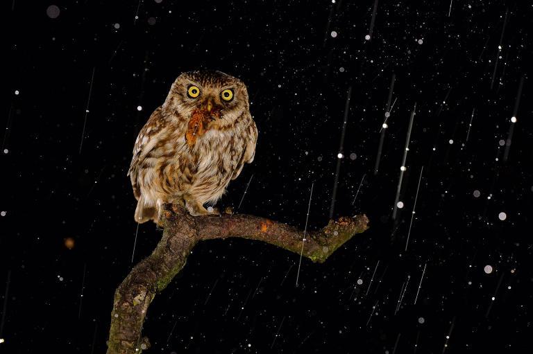 عکس جغد در شب