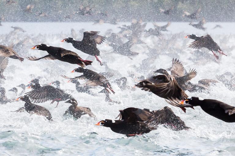 عکس اردک دریایی در طبیعت کانادا