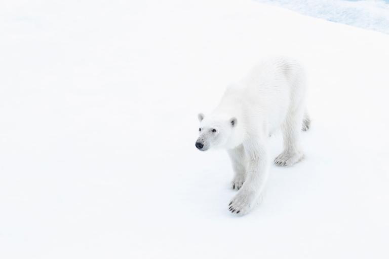 عکس خرس قطبی در طبیعت روسیه