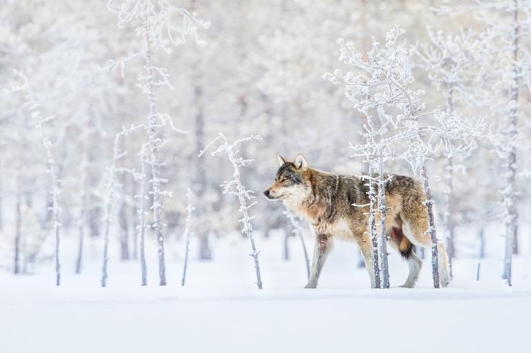 عکس گرگ در طبیعت فنلاند