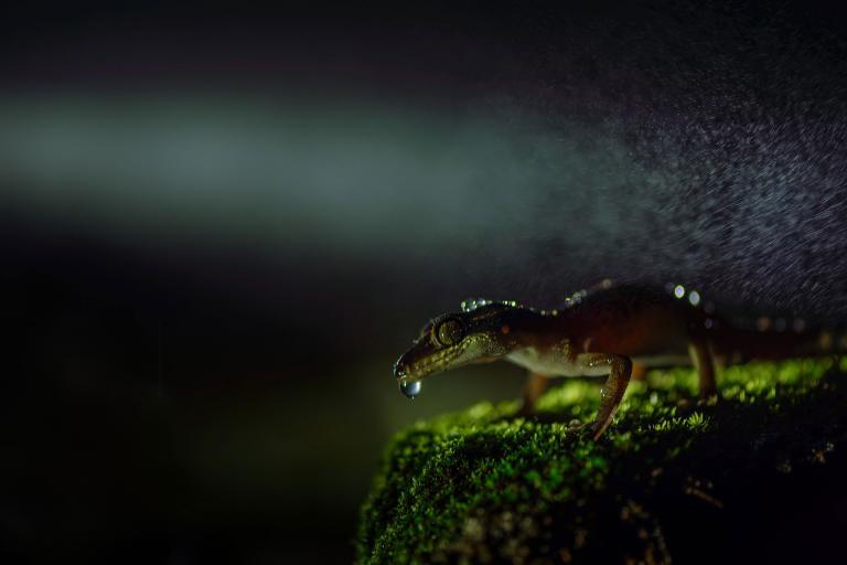 عکس مارمولک در طبیعت هند