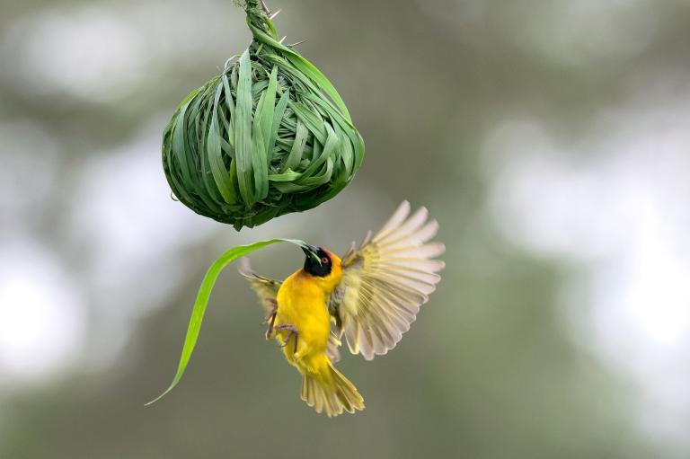 مرغ آواز خوان