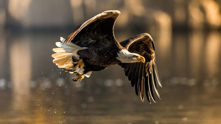 عقاب سر سفید آمریکایی