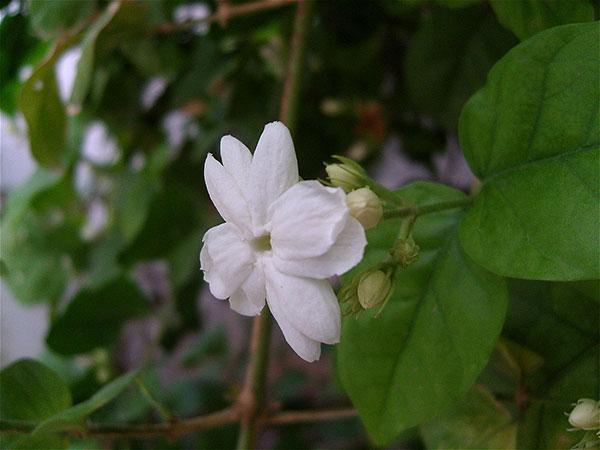عکس گل یاس رازقی عطری