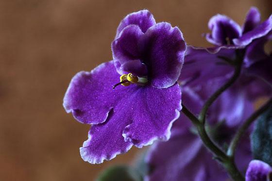 گل بنفشه آفریقایی