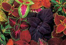 گل حسن یوسف در رنگهای مختلف