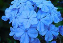 عکس گل یاس آبی یا بنفش