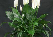 عکس گیاه اسپاتی فیلوم