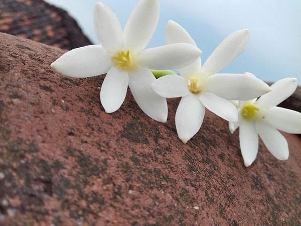 عکس گل یا سفید برای پروفایل