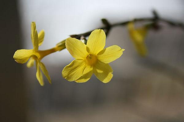 عکس شاخه گل یاس زرد