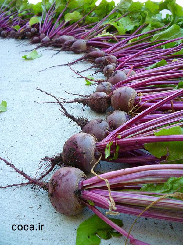 عکس چغندر قرمز یا لبو که هم دارای برگ می باشد و هم ریشه های سالم و قوی