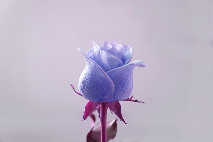 گل رز آبی نماد و نشانه چیست؟
