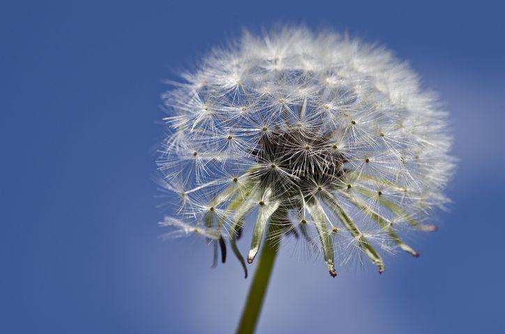 تصویر متحرک زمینه گل قاصدک
