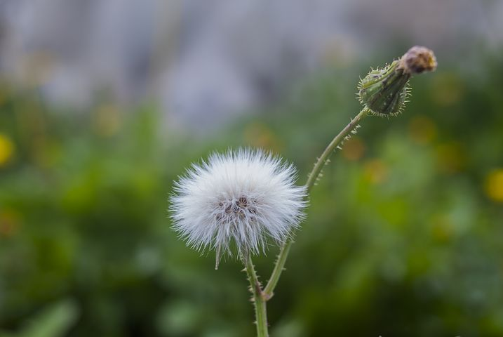 عکس گل قاصدک زیبا