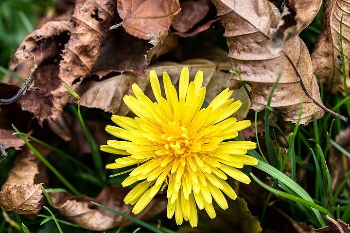 تصاویر گل قاصدک زرد