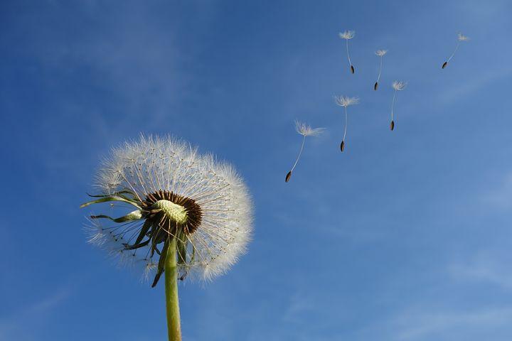 عکس گل قاصدک زیبا در طبیعت