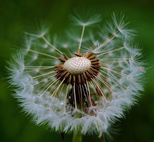 عکس نمای نزدیک از گل قاصدک