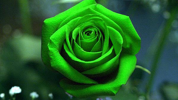 گل رز سبز نماد چیست؟