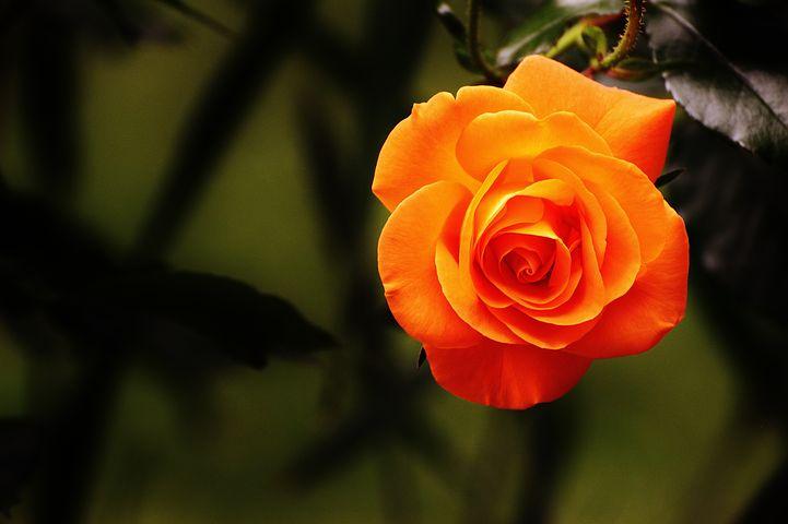 گل رز نارنجی نماد و نشانه چیست؟