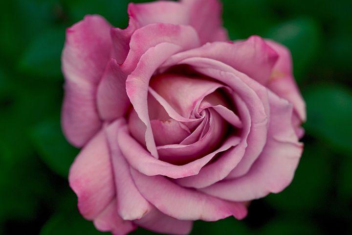 گل رز بنفش ارغوانی نماد و نشانه چیست؟