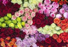 معنی تمامی رنگ های گل رز