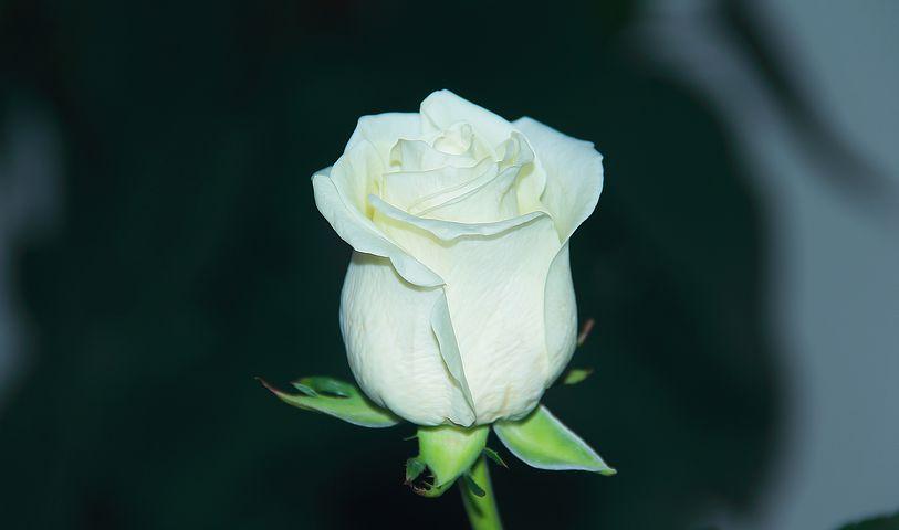 گل رز سفید نماد و نشانه چیست؟