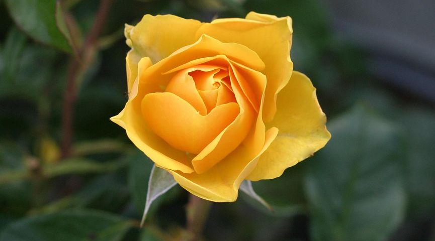 گل رز زرد نماد و نشانه چیست؟