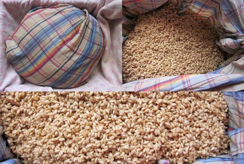 طرز تهیه سمنو : ریختن گندم در پارچه ی نخی