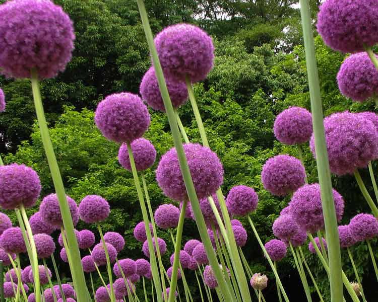 عکس گل های زیبا و بنفش گیاه موسیر