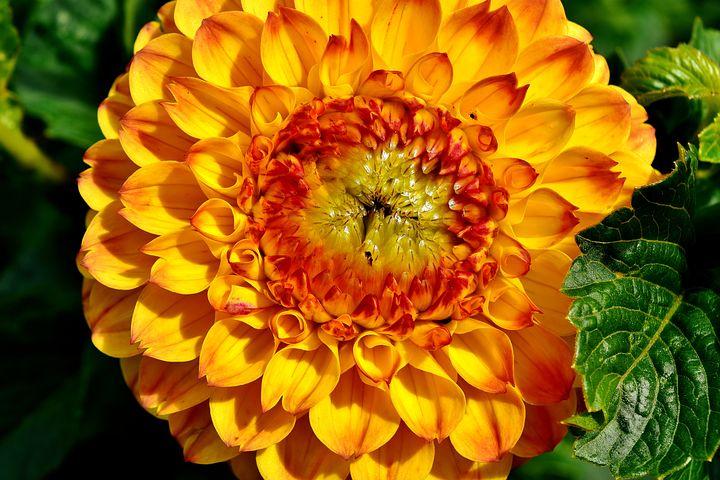 عکس گل کوکب زرد نارنجی