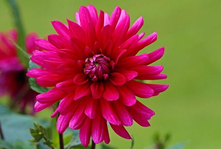 عکس گل کوکب قرمز
