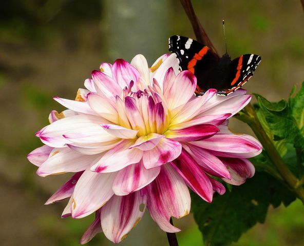 عکس پروانه بر روی گل کوکب