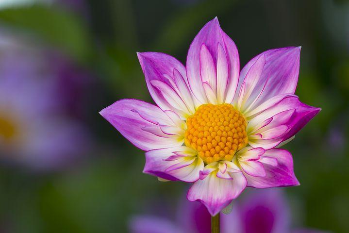 عکس گل کوکب بنفش