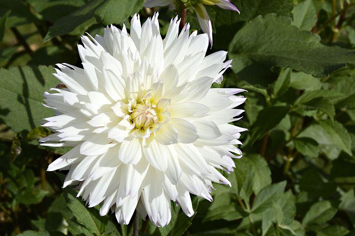 عکس گل کوکب سفید